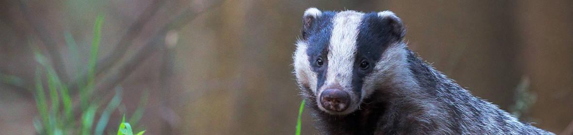 Badger-Gon